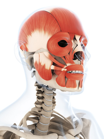 3d rendered illustration of the human facial musculature illustration