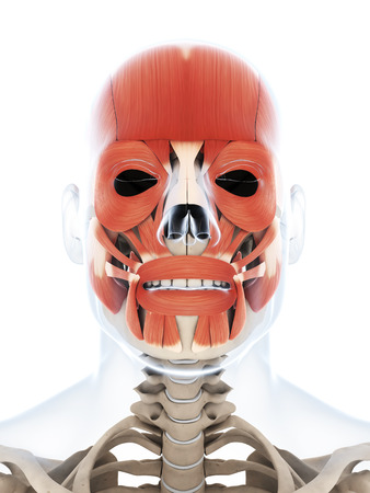 musculature: 3d rendered illustration of the human facial musculature