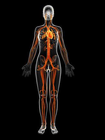 blood vessel: 3d rendered illustration of the female vascular system