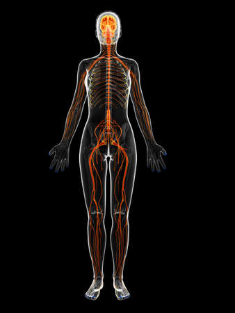 female anatomy: 3d rendered illustration of the female nervous system Stock Photo