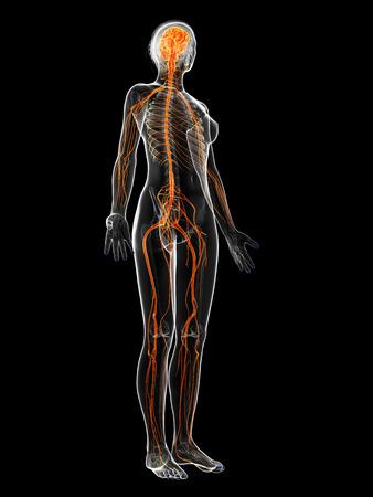 sistema nervioso: 3d rindi? la ilustraci?n del sistema nervioso femenino Foto de archivo