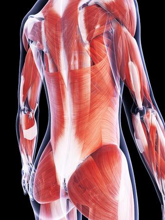 latissimus: 3d ha reso l'illustrazione del sistema muscolare femminile Archivio Fotografico