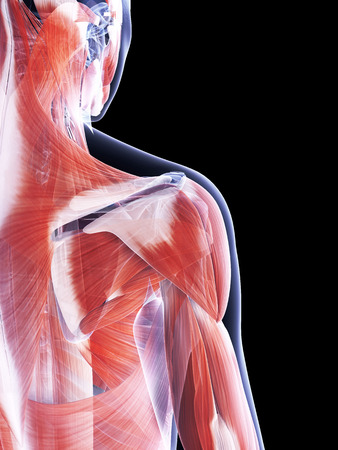 shoulder anatomy: 3d rendered illustration of the female muscle system