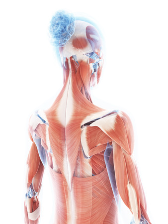 3d rendered illustration of the female muscle system illustration