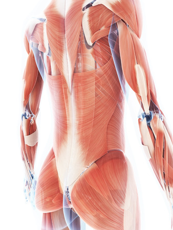 dorsi: 3d rendered illustration of the female muscle system
