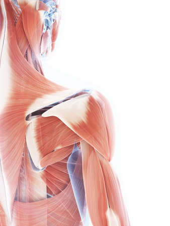 anatomy muscles: 3d rendered illustration of the female muscle system