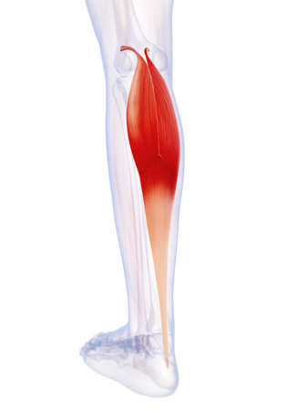 gastrocnemius: 3d rendered illustration of the gastrocnemius muscle