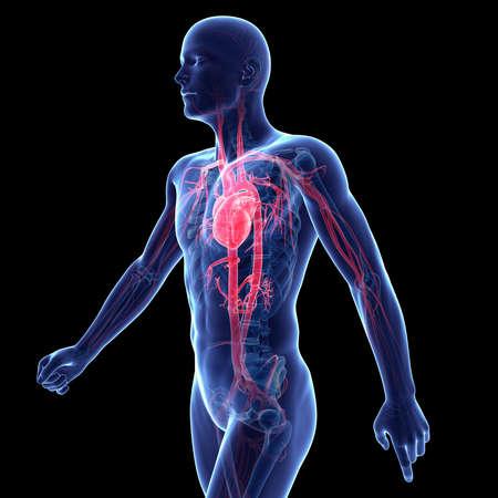 aorta: 3d rendered illustration of the vascular system