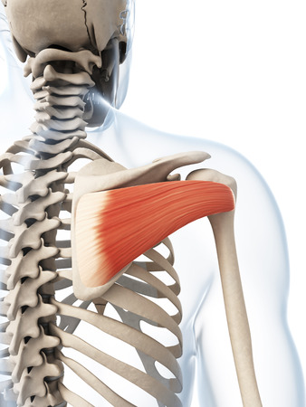 shoulders: 3d rendered illustration of the infraspinatus muscle Stock Photo