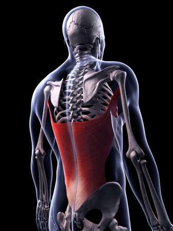 latissimus: Illustrazione di rendering 3D del muscolo gran dorsale Archivio Fotografico