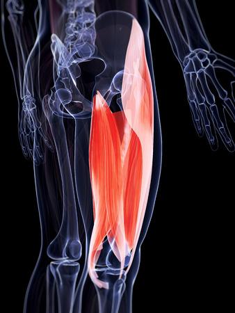 musculature: 3d rendered illustration of the upper leg musculature