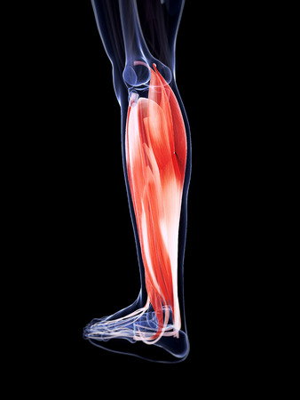 lower: 3d rendered illustration of the lower leg muscles Stock Photo