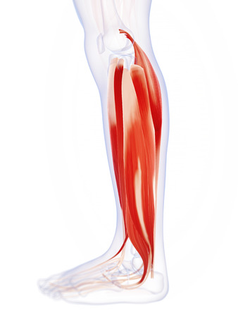 leg muscle: 3d rendered illustration of the lower leg muscles Stock Photo