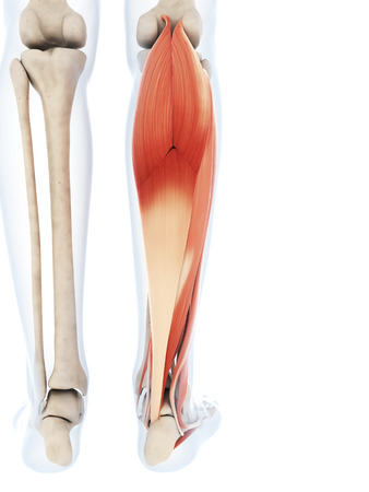 3d rendered illustration of the lower leg muscles illustration