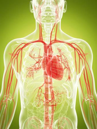 3d rendered illustration of the vascular system illustration