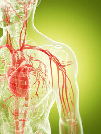 vascular: 3d rendered illustration of the vascular system