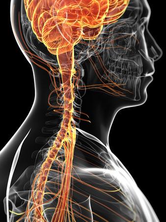 sistema nervioso: 3d rindió la ilustración del sistema nervioso masculino