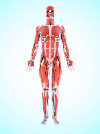 musculature: 3d rendered illustration of the male musculature Stock Photo