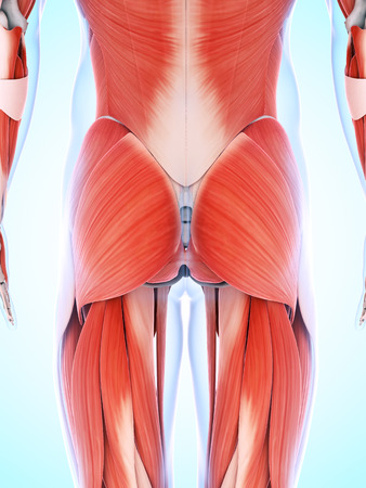 butt: 3d rendered illustration of the male musculature Stock Photo