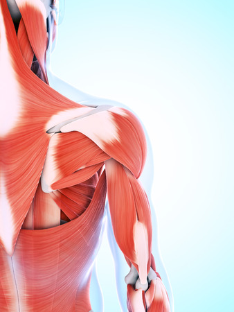 shoulder anatomy: 3d rendered illustration of the male musculature Stock Photo