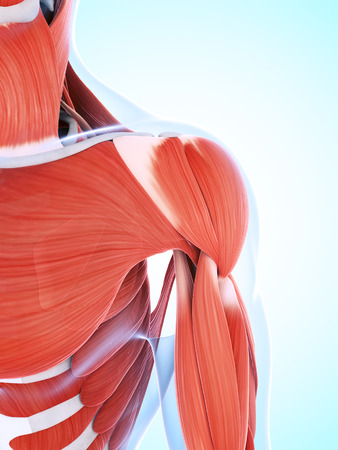 deltoid: 3d rendered illustration of the male musculature Stock Photo