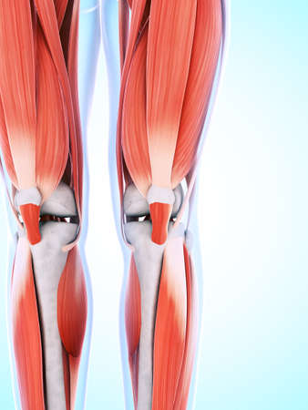 legs: 3d rendered illustration of the male musculature Stock Photo