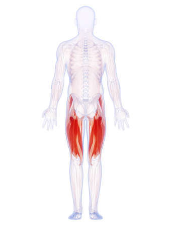 full body: 3d rendered illustration of the upper leg muscles