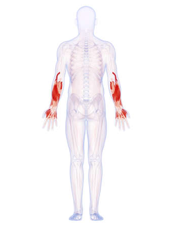 arm muscles: 3d rendered illustration of the lower arm muscles Stock Photo