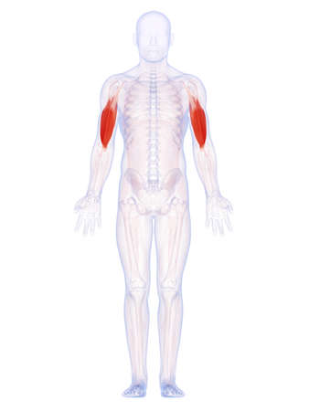 full body: 3d rendered illustration of the upper arm muscles