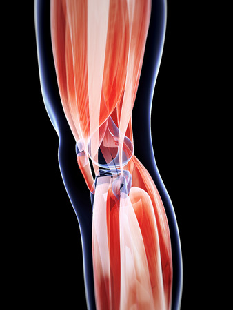 anatomy knee: 3d rendered illustration of the male musculature