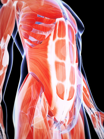 abdomen: 3d rendered illustration of the male musculature