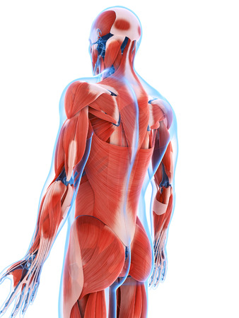 musculature: 3d rendered illustration of the male musculature