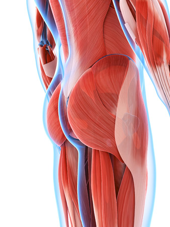 butt: 3d rendered illustration of the male musculature