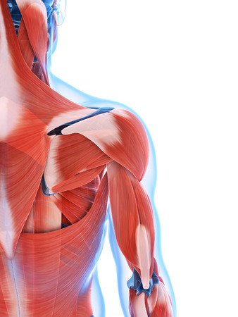 shoulders: 3d rendered illustration of the male musculature