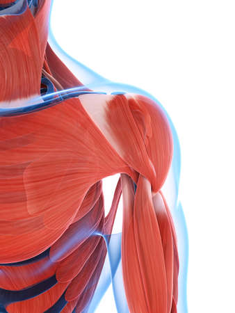 shoulder anatomy: 3d rendered illustration of the male musculature