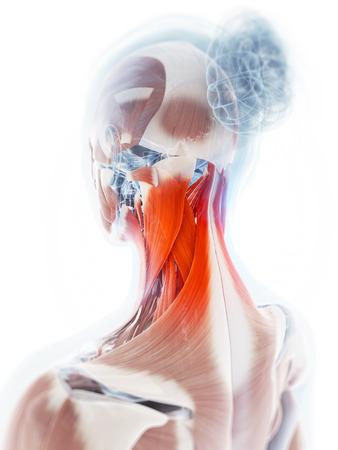 roentgen: 3d rendered illustration of a painful neck