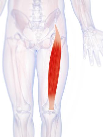 rectus: 3d rendered illustration of the rectus femoris Stock Photo