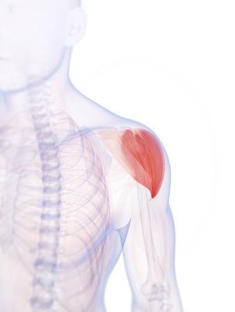 shoulder anatomy: 3d rendered illustration of the shoulder muscle
