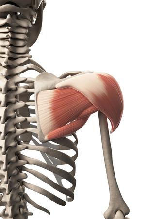 deltoid: 3d rendered illustration of the shoulder muscle
