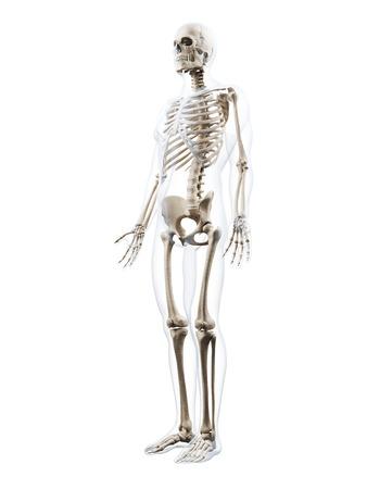 huesos humanos: 3d rindió la ilustración del esqueleto humano