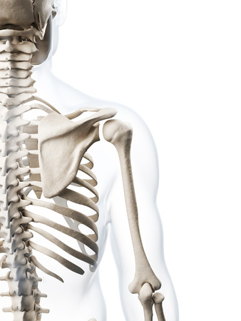 human skeleton: 3d rindió la ilustración del esqueleto humano