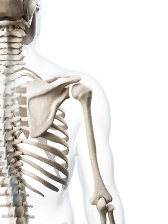 scheletro umano: Illustrazione di rendering 3D dello scheletro umano Archivio Fotografico