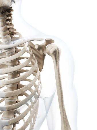 shoulder anatomy: 3d rendered illustration of the human skeleton