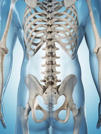 skeleton anatomy: 3d rendered illustration of the male skeleton Stock Photo