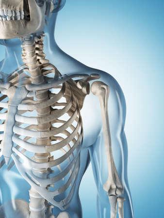 scheletro umano: Illustrazione di rendering 3D dello scheletro maschio Archivio Fotografico