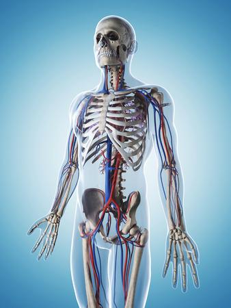 3d rendered illustration of the male skeleton and vascular system illustration