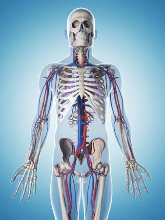 human blood vessel: 3d rendered illustration of the male skeleton and vascular system