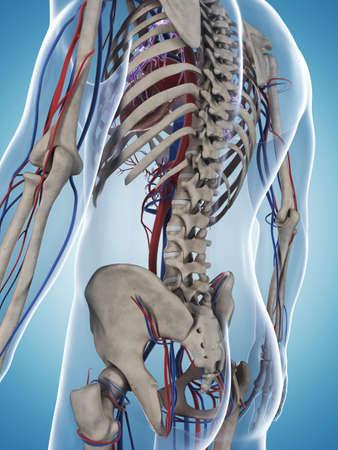 vascular: 3d rendered illustration of the male skeleton and vascular system
