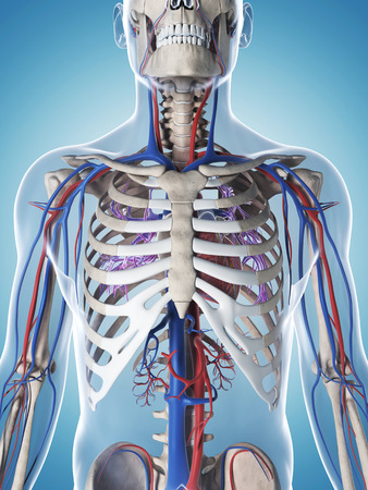 arteries: 3d rendered illustration of the male skeleton and vascular system