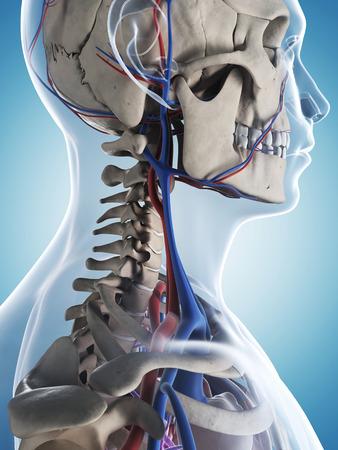 vasos sanguineos: 3d rindió la ilustración del esqueleto masculino y el sistema vascular